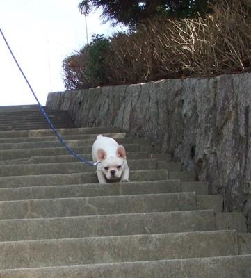白フレブルが階段を降りる写真
