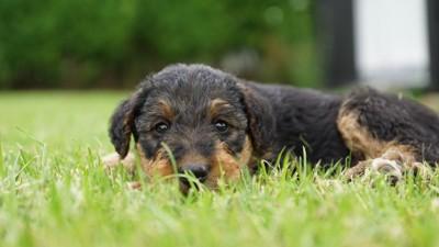 エアデールテリアの子犬