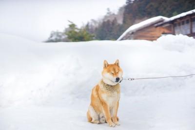 寒い地域の柴犬