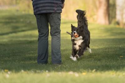 飼い主と遊ぶボーダー・コリー
