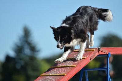 レーニングする犬