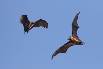 空を飛ぶコウモリ