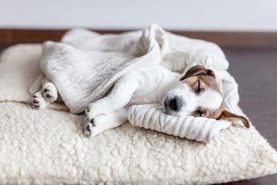 白いお布団で眠るジャックラッセルテリア