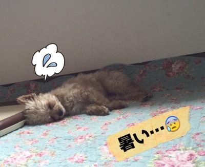 #犬が寝ている、暑い...#