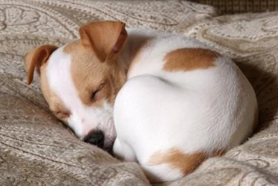 布団で丸くなって眠るジャックラッセル