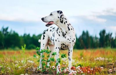 お花の中に立っているダルメシアン