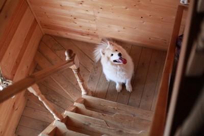 階段の途中で座って待つサモエド