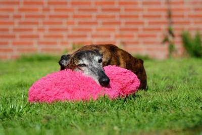 芝生の上で眠るグレイハウンド
