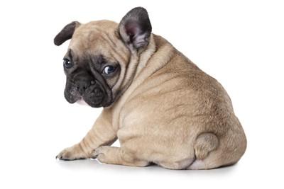 フレンチブルドッグの子犬、おしり
