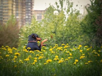 黄色いお花の中で蝶と戯れる犬