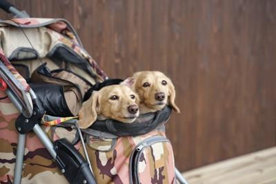ペットカートに乗る2頭のダックスフンド