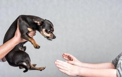 抱っこしようと両手を伸ばす人に牙を剥くチワワ