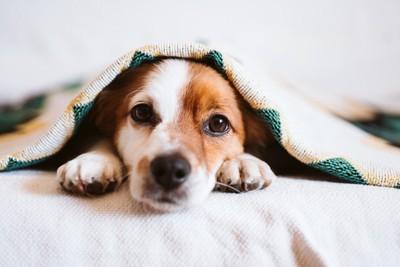 ベッドで休む犬