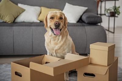 リビングに置かれた段ボールの前で嬉しそうな犬