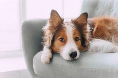 ソファの上から見つめる犬