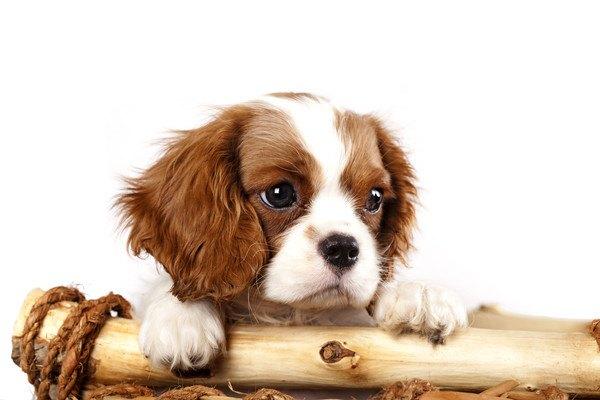 棒に手にかけている子犬のキャバリア