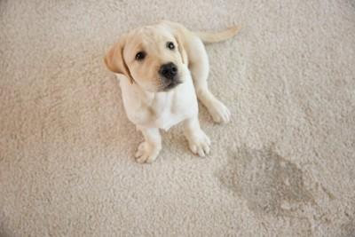 濡れたカーペットのそばに座る子犬