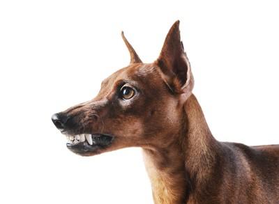 歯をむきだす犬