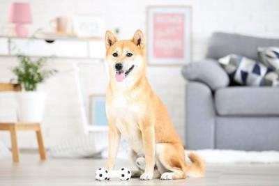 おもちゃの前に座って待っている犬