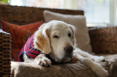 ソファで座る犬