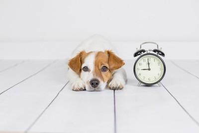 時計の横で伏せる犬
