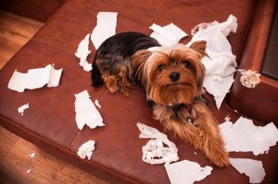 ティッシュをかじった犬