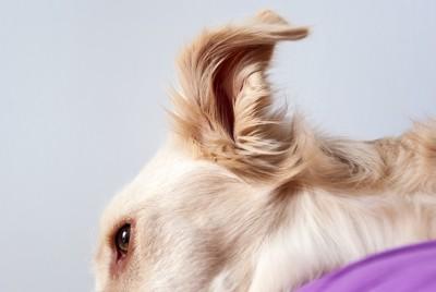 ミニチュアダックスフンドの耳毛
