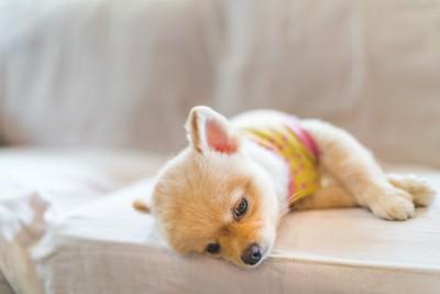ソファーの上で横になるポメラニアン