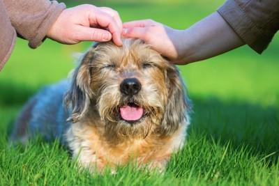 芝生の上で頭を撫でられる垂れ耳の犬