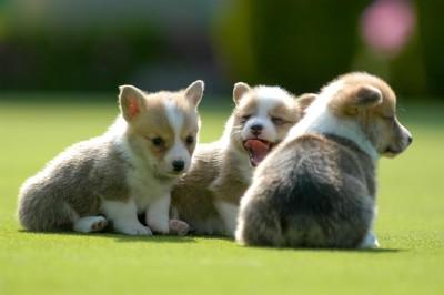 コーギーの子犬たち