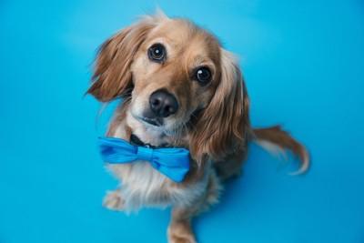青リボンの犬