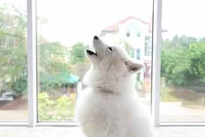 遠吠えする白い犬