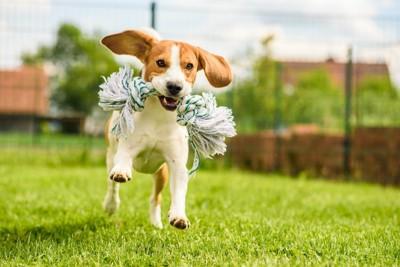 屋外でおもちゃをくわえて走る犬