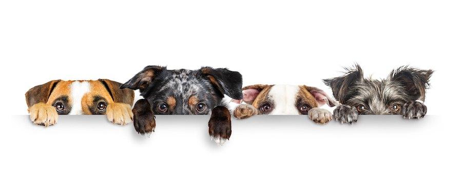 前足をかけて顔を出す四匹の犬