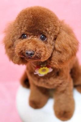 トイプードルカットスタイルモデル犬