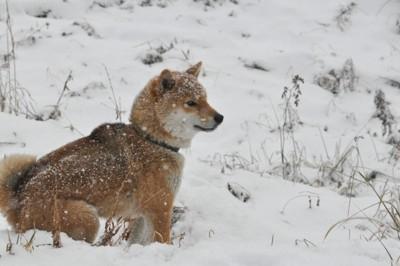 雪の中の柴犬の写真