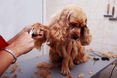 手の被毛をカットしている犬