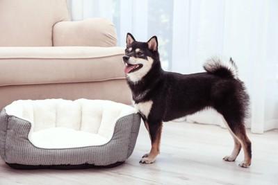 犬用ベッドと黒柴