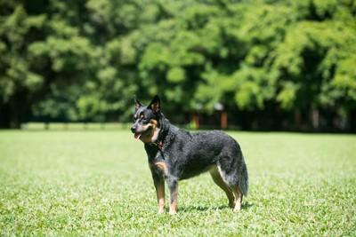 芝生の上に立つオーストラリアンキャトルドッグ