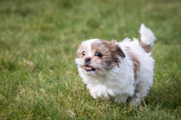 走る子犬のシーズー