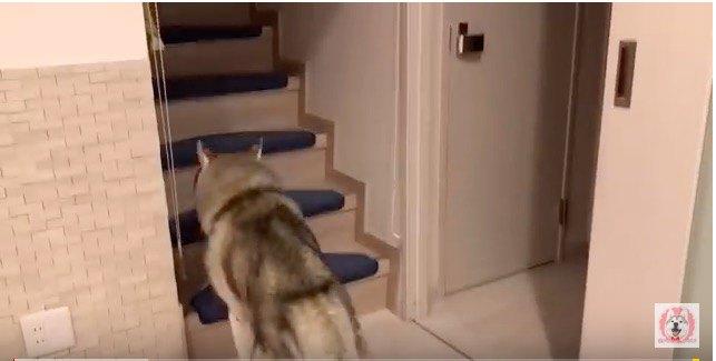 階段をのぼるハスキー