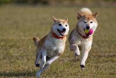走り回る2頭の柴犬