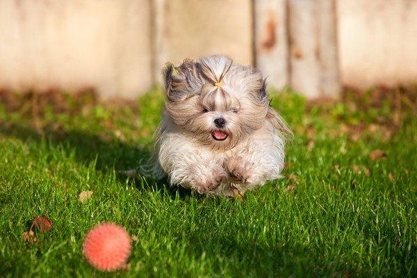 外でボールを追うシーズー
