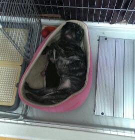 ケージで仰向けに寝るパグ