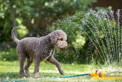 スプリンクラーの水を浴びる犬