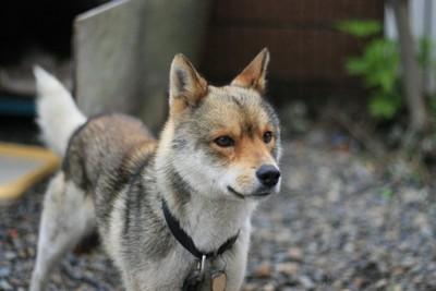 日本犬風の雑種