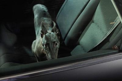 座席にいる黒い耳を立てている犬