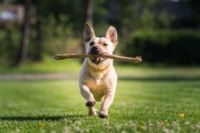 木を口にくわえて走る犬