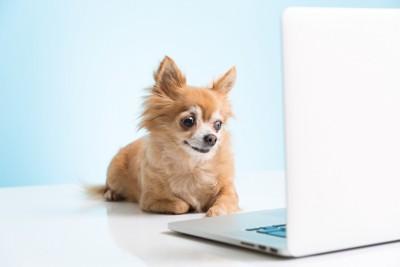 ノートパソコンを見るチワワ