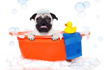 お風呂に入っているパグ